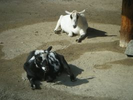 Reclining goats: stock by Lythre-does-photos