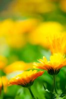 Marigold by Mioko001