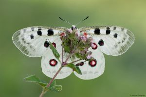 Parnassius apollo IV by Aphantopus