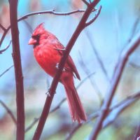 Red Bird in the Rain by clippercarrillo