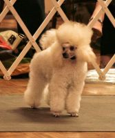 Poodle2 by NHuval-stock
