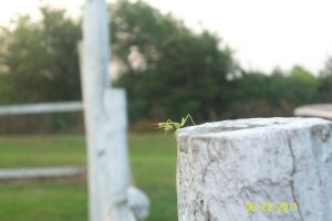 Mantid on A Fence by PuffyDearlySmith