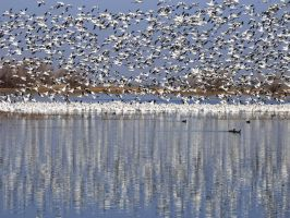 Ross's Geese at Merced National Wildlife Refuge by Geotripper