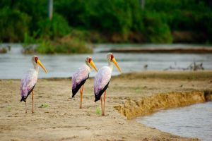 African Stork on the Riverside by CunisiaInc
