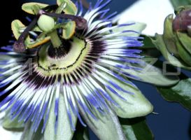 Ants on passionflower by MariliaZo
