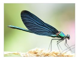 Mr. Dragonfly by albatros1