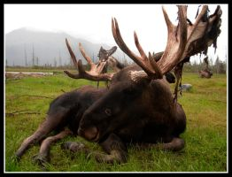 Bull Moose by Salakin