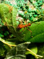 Leaf Cutter Ants 03 - June 12 by mszafran
