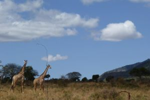 Tsavo Giraffes by TheNewBlueBlood