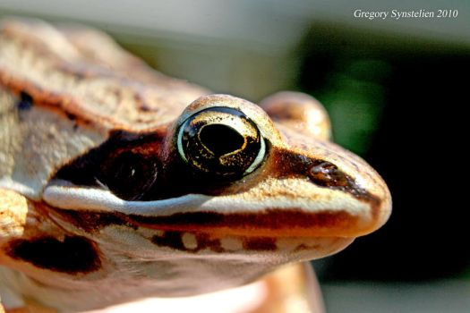 Wood Frog August 2010 by UffdaGreg