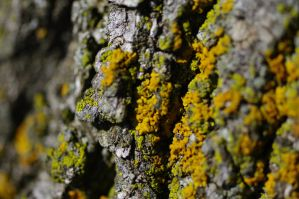 lichens on tree C 6.25.11 by serealis