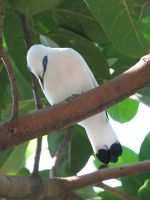 Bali Starling 04 by Ghost-Stock