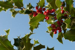 Holly up against the sky 1 by steppelandstock
