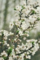 Blossoming cherry by fotografka
