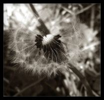 Sepia Dandelion by Forestina-Fotos