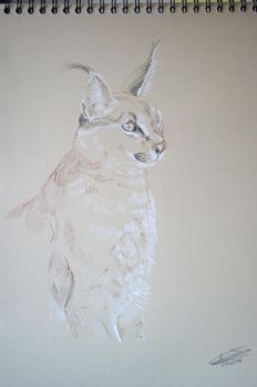 Caracal by ClaireJouy