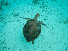 Turtle by LarkoftheRiver