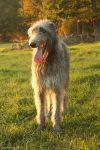 Deerhound bitch called Lisa by Grayrorys