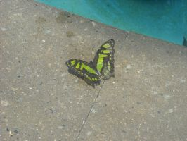 Another Detroit Zoo Butterfly by MidnightTheCat