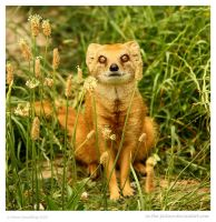 Yellow Mongoose by In-the-picture