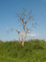 STOCK Old tree by Inilein