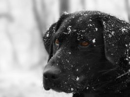 Labrador in Snow by LauraMizvaria