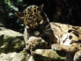 2014 - Clouded leopard 35 by Lena-Panthera