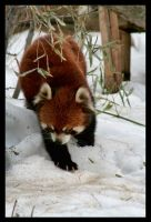 Red Panda: Stumbling by Flame-of-the-Phoenix