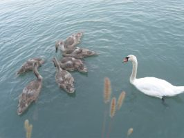 Swan family IV by Santian69