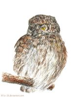 Glaucidium passerinum by lu--24