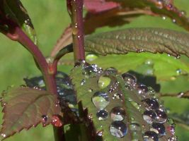Watered Leaves 3 by La-Suzanna