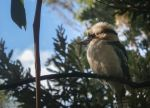 Kookaburra Sights by Daft-Perception