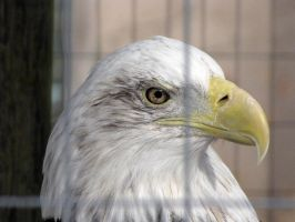 Bald Eagle by Teh-Pandacoon