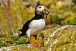 Puffin With Sand Eels by SkellMan