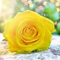 Yellow rose by FrancescaDelfino
