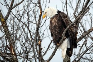 .:Perched Eagle:. by RHCheng