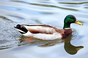 The Young Mallard by clippercarrillo