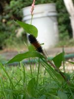 Wooly Bear caterpillar by Carrie-Ann