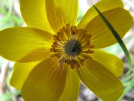 Autumn Buttercup Close-Up by Maltese-Naturalist