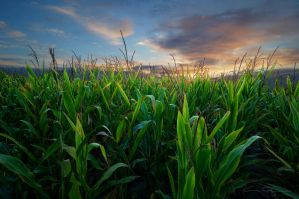 Corn Sunrise by FrenchieSmalls