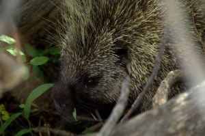 Porcupine Face by amzimme