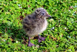 Seagull chick I by FuriousEnnui