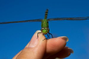 The Green Dragonfly 10 by lifeinedit