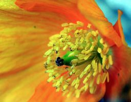 Scottish Poppies by amyhooton