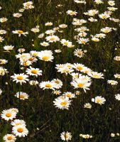 A Daisy Field by PridesCrossing
