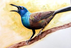 Common Grackle by Pantalewns