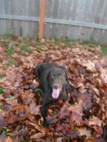 Chocolate Lab-In Leaves 2 by EumyCookie