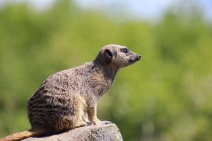 Meerkat 2 by lucky128stocks