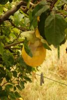 Quince by masseva
