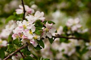 Apple Blossom by DeTea
